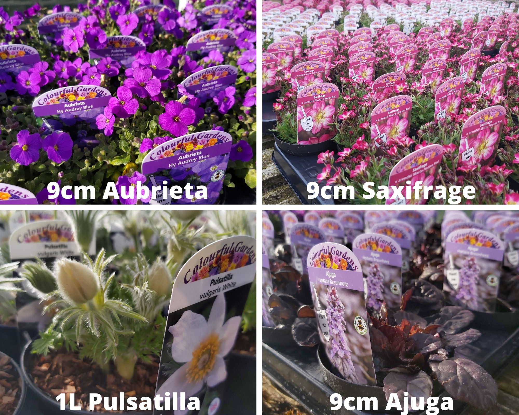 Selection of looking good Alpines