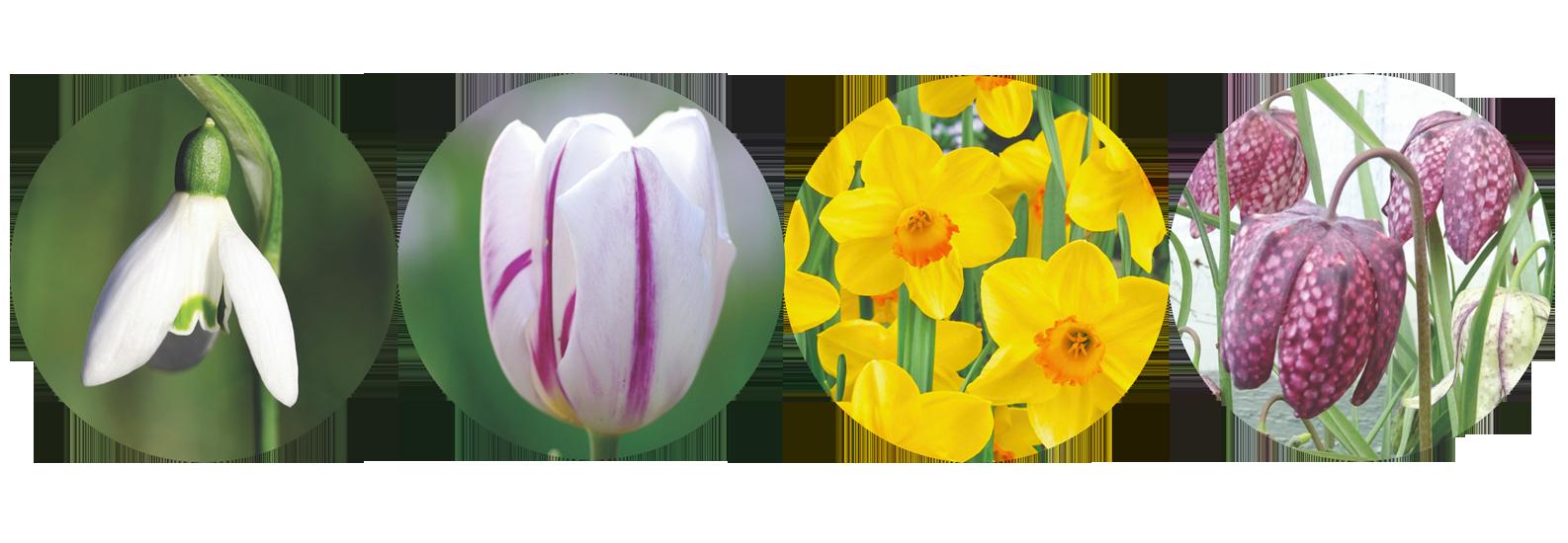 Spring Flowering Bulbs 2019.png